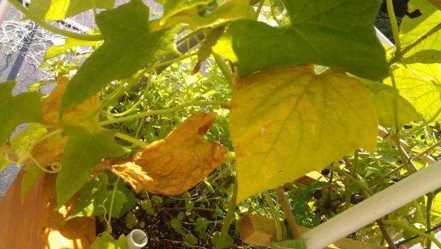 Огурцы желтеют листья изавязи
