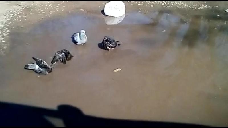 купание голубей в Чистый Четверг