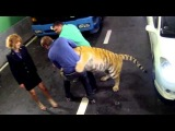 Скорый: Москва - Россия. Тигр напал на Светлакова / Tiger attack Svetlakov