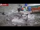 В Японии начали бойню дельфинов