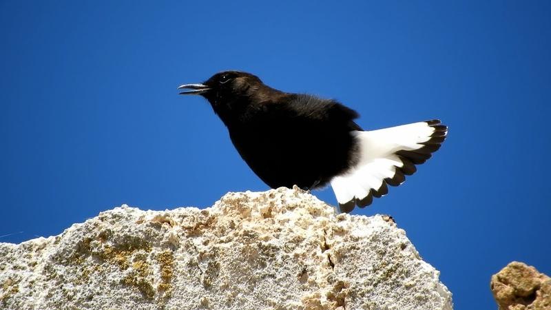 Black wheatear / Белохвостая каменка / Oenanthe leucura