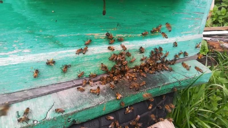 наша пасека.цветёт черемуха и одуванчики.первый тёплый день22.пчёлы кайфуют