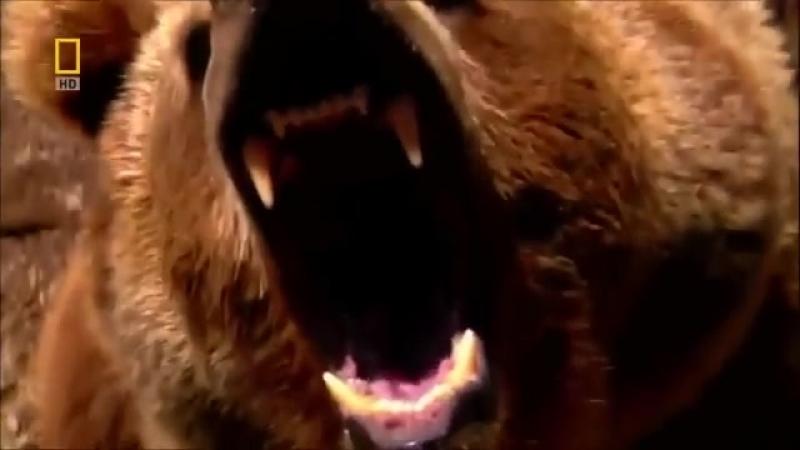 Эволюция. Медведь. От доисторического хищника до наших дней. Супер фильм