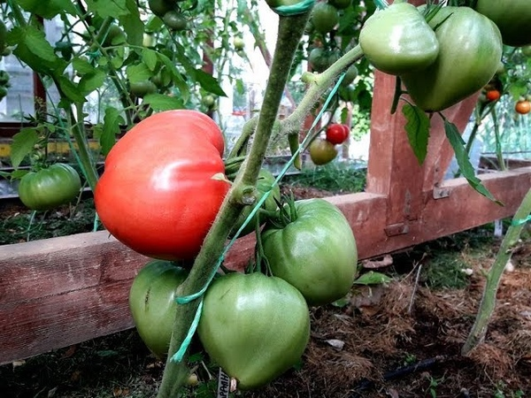Самые скороспелые томаты из крупноплодных Результат обработки от кладоспориоза