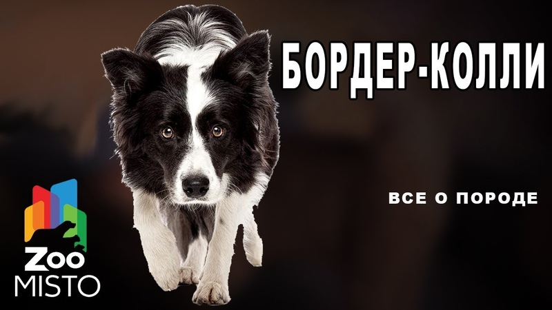 Бордер колли Все о породе собаки Собака породы бордер колли