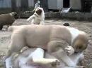Жесткие собачьи бои. :)