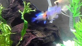 Electric Blue Rams Spawning