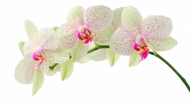 """Схемы вышивки. auva.  Схема вышивки  """"орхидеи """"."""