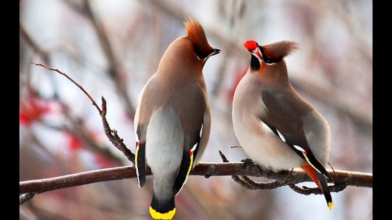 Птички Свиристели