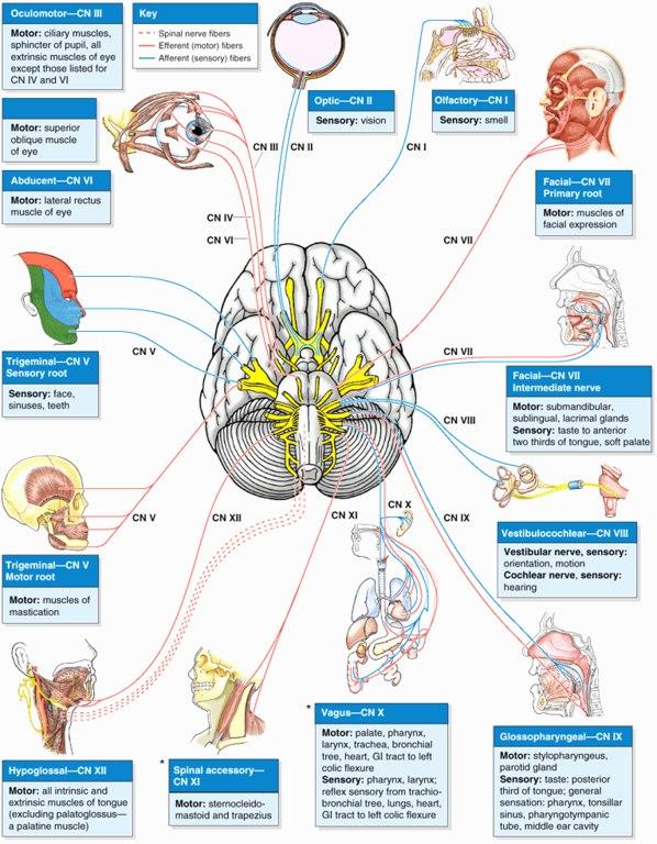12 пар черепных нервов