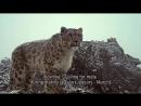 Небольшой документальный фильм про ирбисов снежных барсов в Непале. Вы наконец-то узнаете, как рычит ирбис!