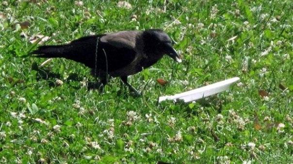Я увидел, как эта ворона ела в парке, и обалдел от того, что она сделала потом: ↪ Вот бы все люди были такими.