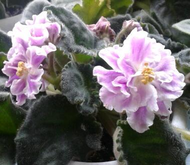 Цветы у Ликки 0LXRImTh-Cg