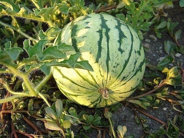 Спрашиваете, как вырастить сладкий, крупный арбуз в наших условиях Нет ничего проще!