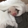 An 18 month old mini pig