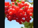 Чайный напиток из сушеных ягод Калины красной,