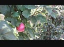 Яблоня Джестер