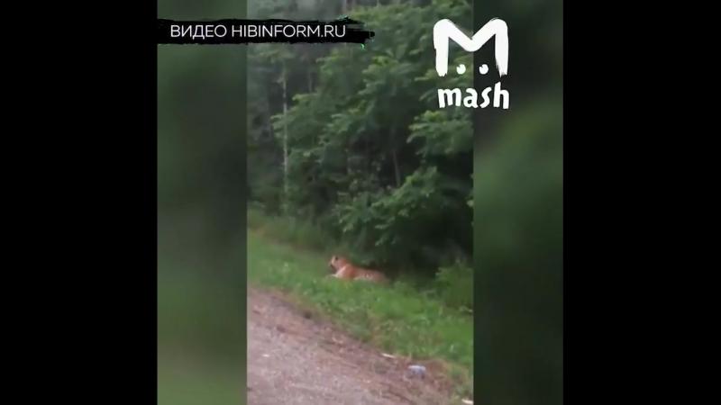 В Мурманске обнаружили тигра
