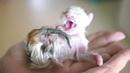 寶寶早已胎死腹中,貓媽卻堅持到足月,只爲保住那顆獨苗 芋圆出生 31532