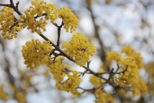 фото кизил цветение