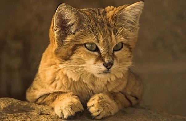 Барханный кот, или песчаный кот, или барханная кошка — хищник семейства кошачьих Подушечки лап покрыты плотной циновкой меха, что позволяет им ходить по песку без погружения и делает их следы практически невидимыми. Они научились приседать вниз и закрывать свои глаза, когда свет освещает их, поэтому кошку нельзя заметить по отраженному от сетчатки глаза свету. Это, в сочетании с защитным цветом шерсти, делает практически невозможным обнаружение животного в природных условиях.
