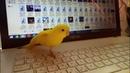 Первый полёт попугая Чучи , мы хотим только бит только бас.Parrot бландин bird