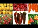 ПЕРЦЫ Самые вкусные и необычные сорта со всего света Нидерланды Италия США Ямайка Непал