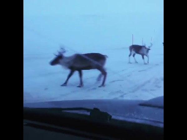 Раскрыт секрет ям на дорогах. Их роют олени