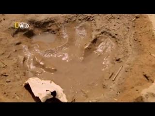 Хищники Африки. Бегемот против крокодила
