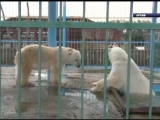 Белый медведь Седов уже этой зимой может вернуться в «Роев ручей»