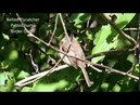 Belted flycatcher Коричневогрудый мухоед Xenotriccus callizonus