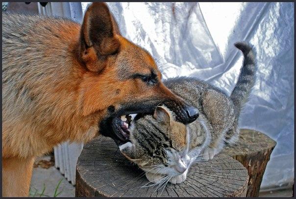Собака кусает кота