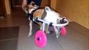 Коляска-тренажер Animal Mobile для йоркширского терьера