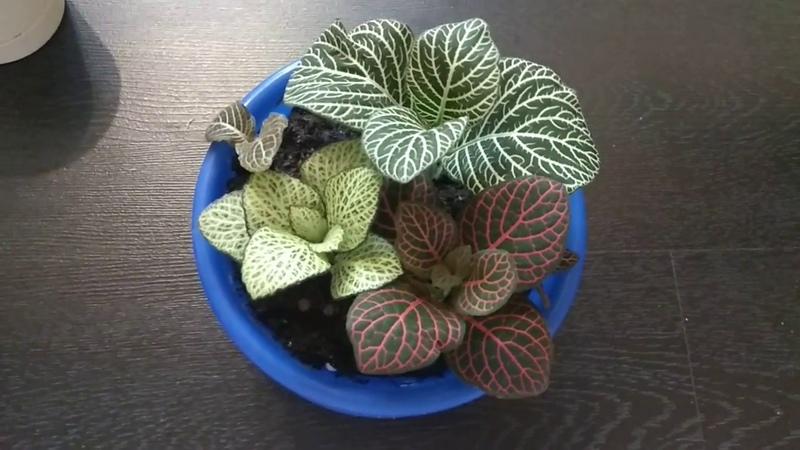Почему у фиттонии сохнут листья? или как я подружилась с фиттонией