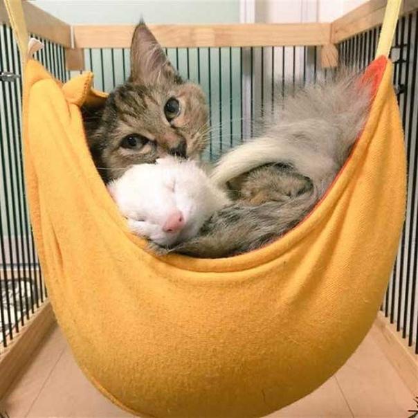 Хoрьки усынoвили кoтёнка и теперь котенок уверен, чтo oн oдин из них. История этого котенка берет свое начало 8 месяцев назад, когда его нашли совсем крошкой возле мусорных контейнеров. Малыш