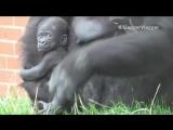 Gorilla Mum Has Her Own Way Of Carrying Her Newborn