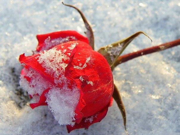 Предлагаю способ размножения роз, с помощью которого я обеспечила своими розами всех подруг.