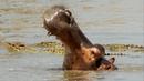 Hippos Attack Crocodiles to Defend Dead Companion | BBC Earth