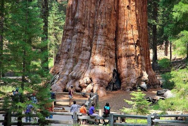 Фото самого большого дерева на планете. Дерево «Генерал Шерман» самый большой и самый тяжёлый живой организм на планете.Высота 83,8 м, масса оценивается в 1910 т (оценка 1938 года), объём ствола
