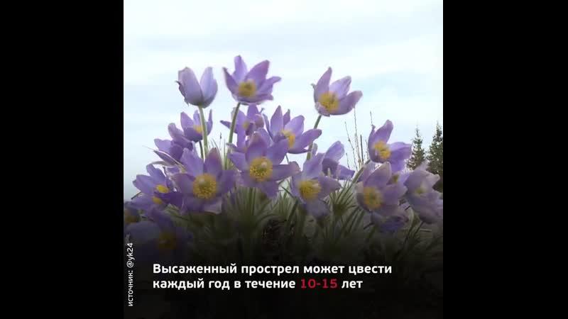 Подснежники в Ботаническом саду Якутска