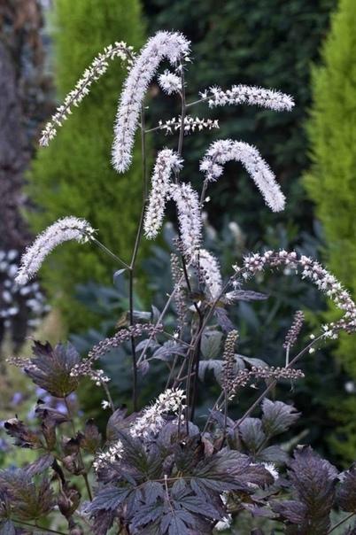 КЛОПОГОН Клопогон является многолетним травянистым растением, принадлежит к семейству лютиковые. Цветок называют клопогоном потому, что отваром корня данного растения в старину боролись с