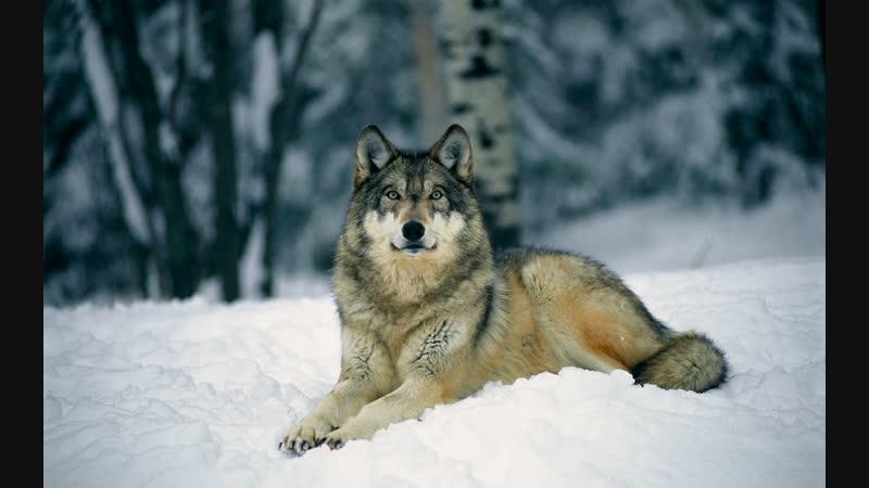 Ясон Бадридзе_ Лучшая защита фермы от нападения волка - это правильно воспитанны (1)