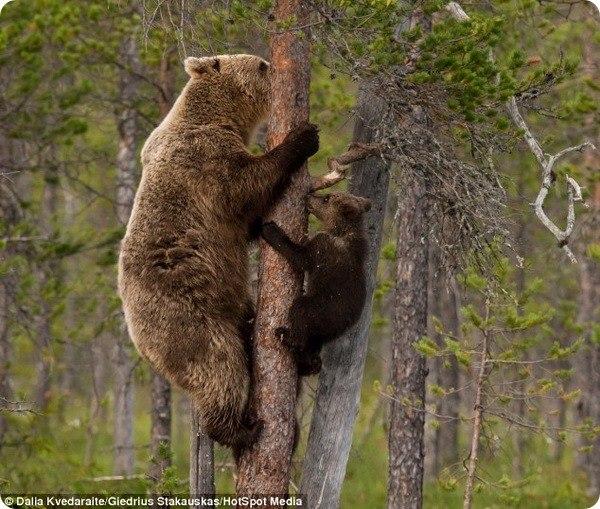 Роль матери в жизни любого живого существа имеет огромное значение. Мать дарит жизнь, выкармливает и оберегает малыша, она же обучает всем необходимым азам в этом... #zoopicture #Медведи
