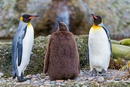Птенцы королевских пингвинов не носят на себе перья, как взрослые особи.