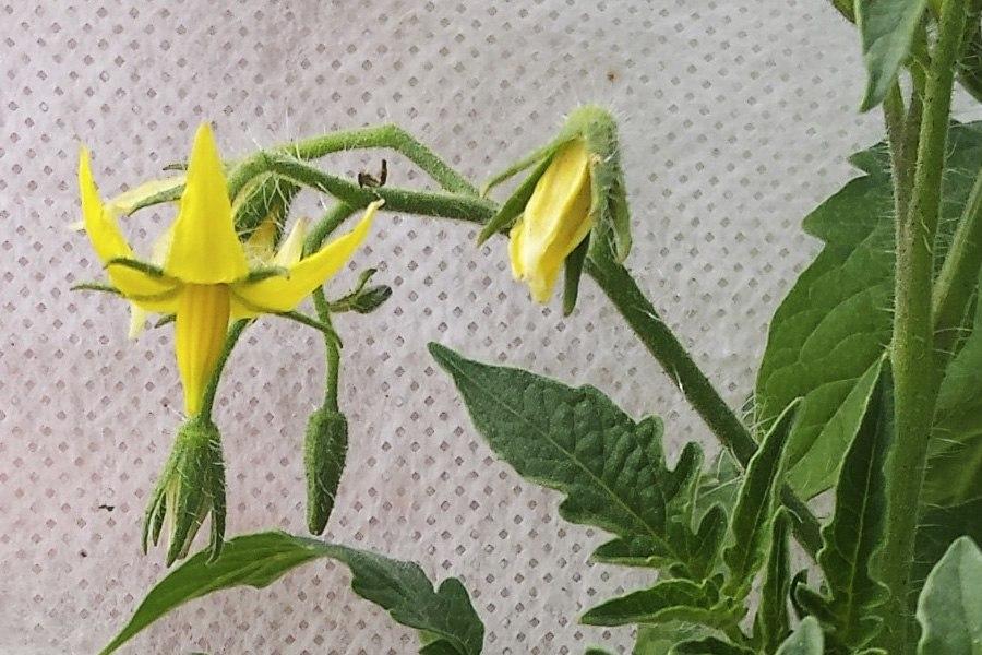 Выращивание помидоров в теплице, идеальная подкормка и простой уход