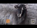 Технология выращивания коз породы Тайхан Козы имеют очень долгую историю разведения в Китае До сих пор козы по прежнему ш