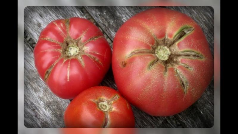 Трещины на томатах!! В чем причина и опасность этого явления?!
