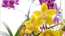 34. Первое домашнее цветение орхидей Yellow Chocolate, Vesuvius и Chia E Yenlin. Обзор в феврале