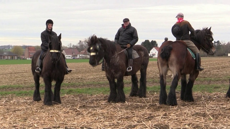 Belgian Draft Horses: the famous horse gallop around the Tiense Berg in Hakendover