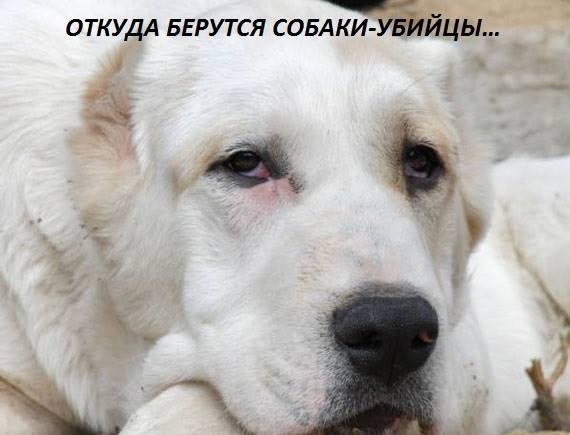 ОТКУДА БЕРУТСЯ СОБАКИ-УБИЙЦЫ… Звонок из приюта: — Боря, ты можешь подъехать за собакой — Что за собака-то — Алабай. Только он в очень плохом состоянии… — — Мужик привез усыплять. Только он